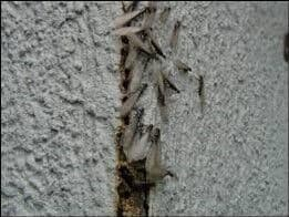 Alate termites entering a structure through an exterior sheathing joint.